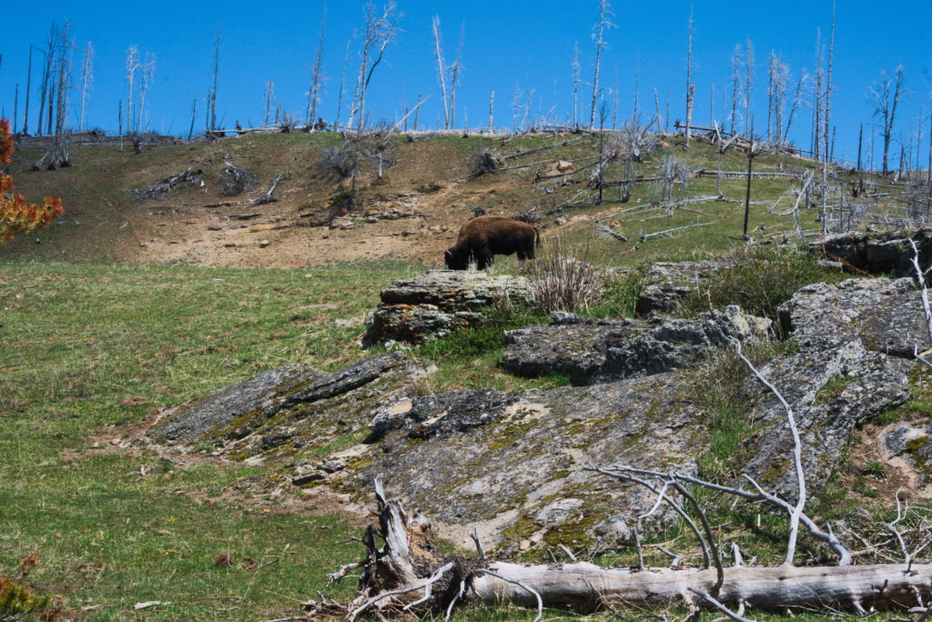 Bison grazing on a hill in Yellowstone National Park