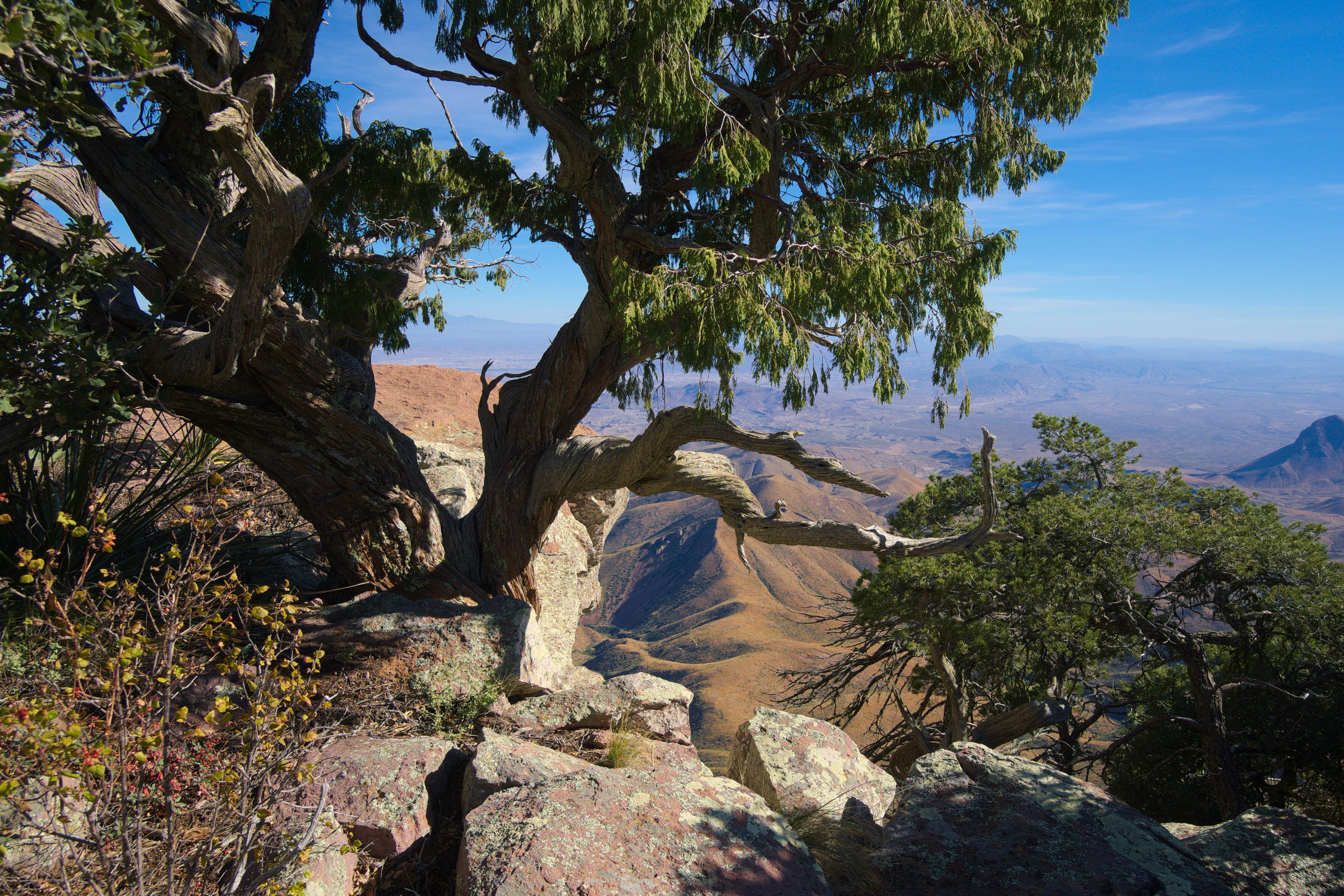Juniper Tree growing on the South Rim of Big Bend National Park