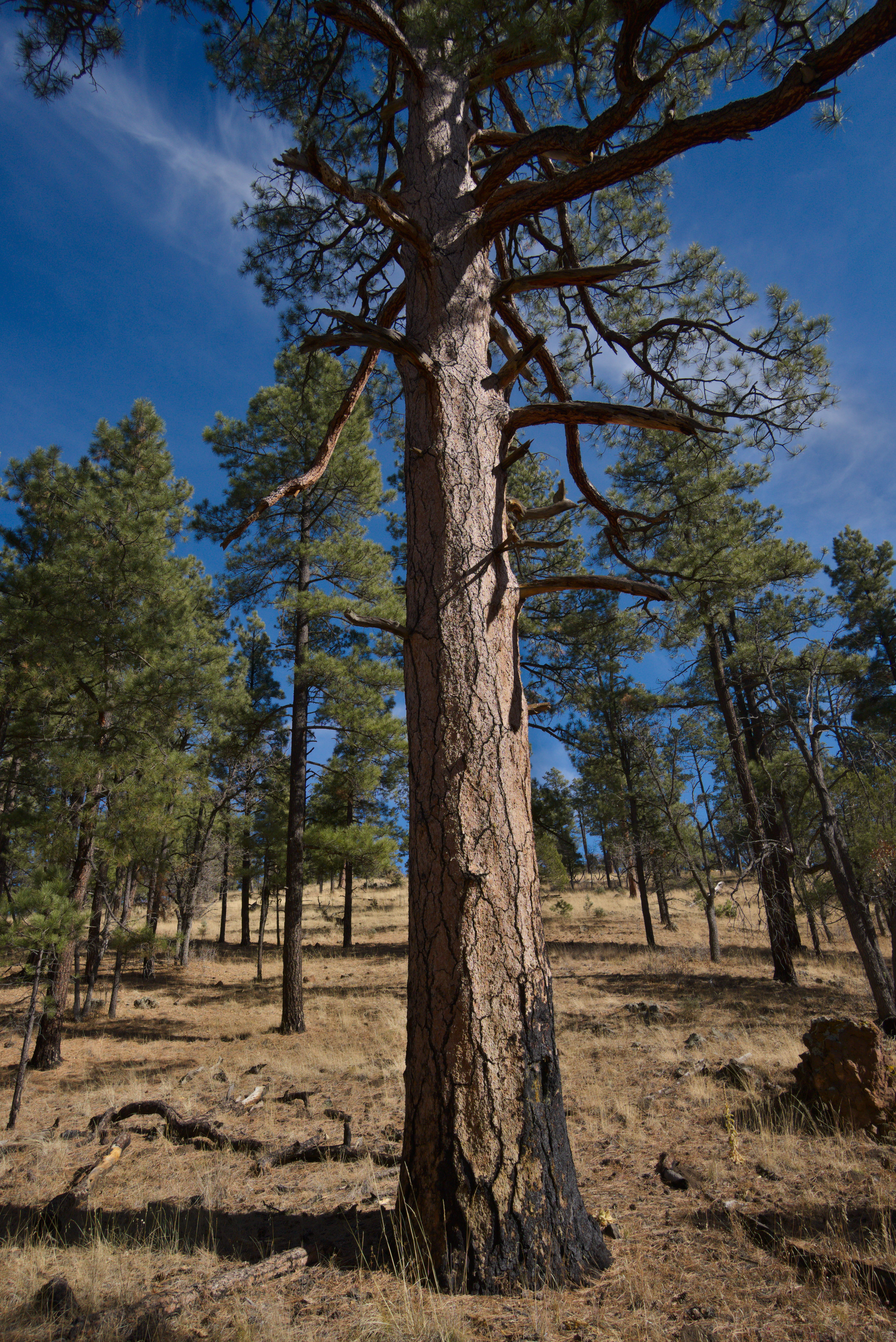 Old pine tree in the Gila Wilderness, New Mexico